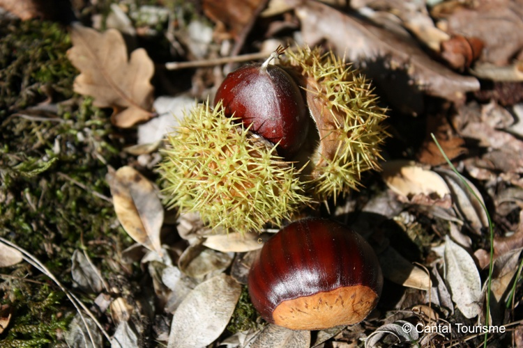 Chestnuts in the Lot Valley, France