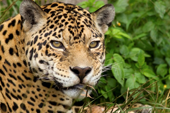 A jaguar in the Pantanal, Brazil