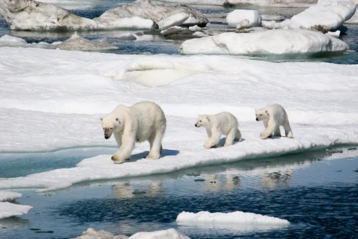 Polar Bears - Crystal Cruises