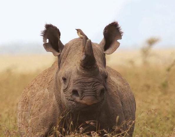 Rhino in Kenya