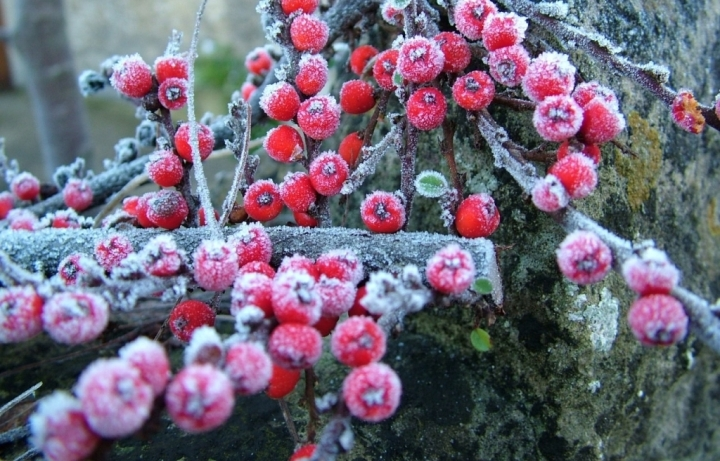 Red berries after a winter frost