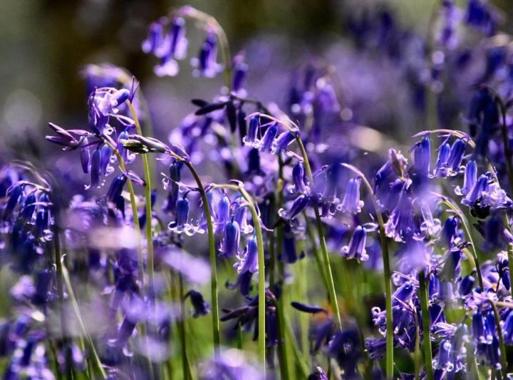 Bluebells are out at the Outwoods, National Forest - credit Kevin Tebutt