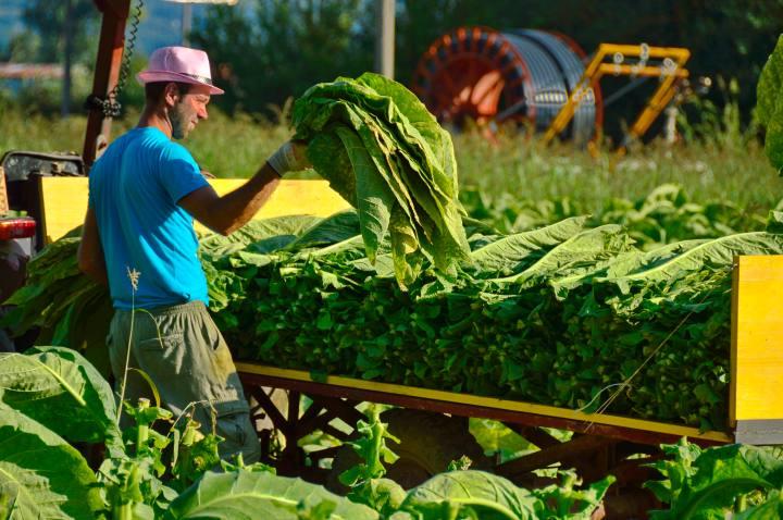 Harvesting tobacco, Sansepolcro - credit Sapori e Saperi Adventures