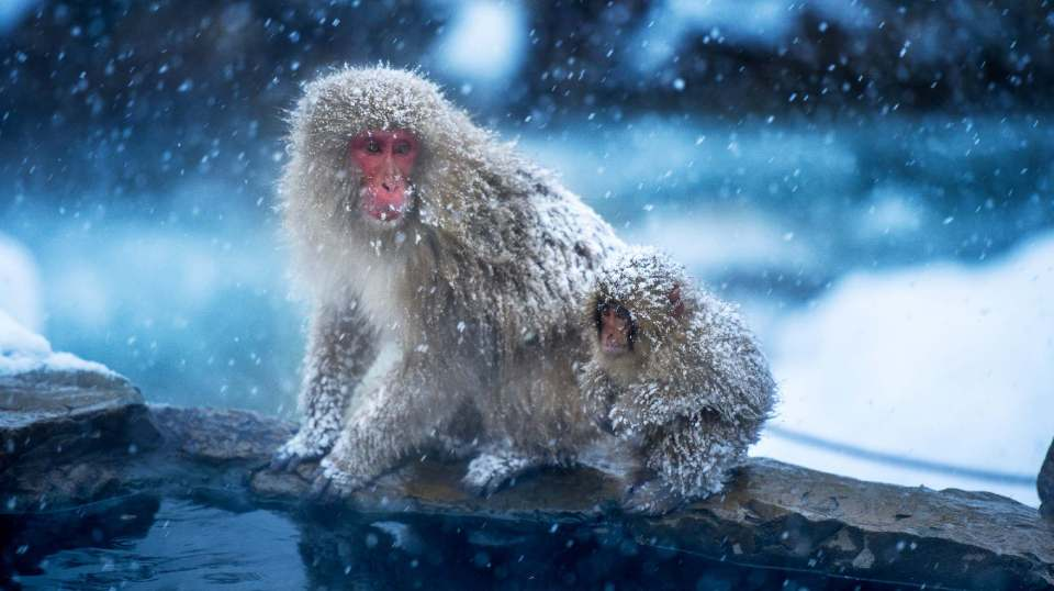 Snow Monkeys - credit Wendy Wu Tours